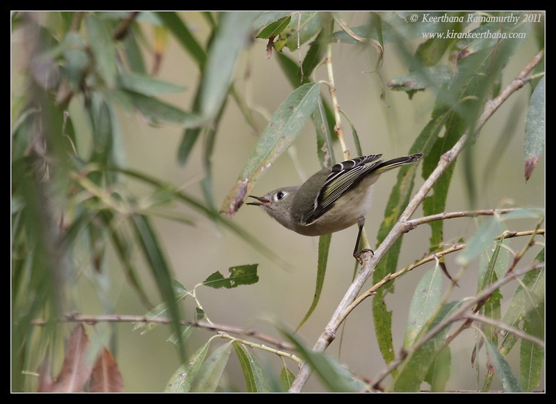 Ruby-crowned Kinglet along the Proctor Road Trail, Madera Canyon, Arizona, November 2011
