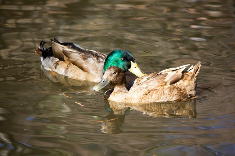 2016_02_27_Ducks_5556.jpg