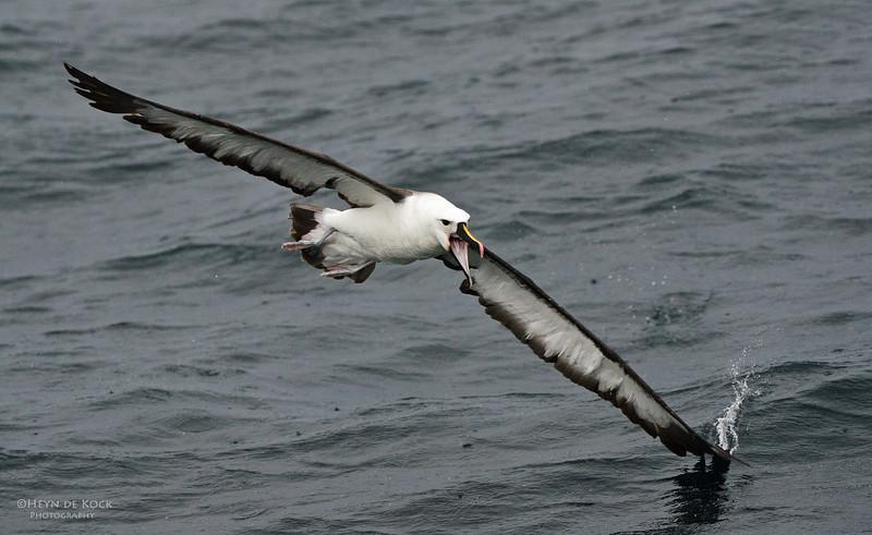 Indian Yellow-nosed Albatross, Wollongong Pelagic, NSW, Aus, Jun 2012-1.jpg