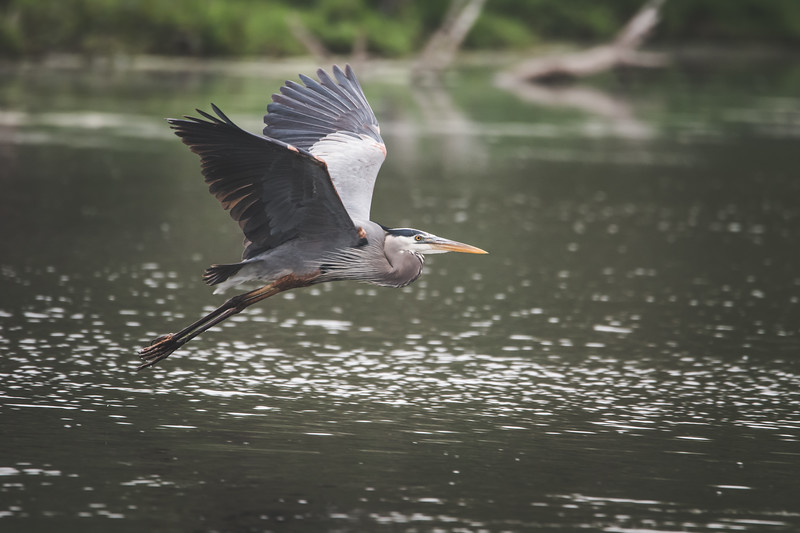 A Great Blue Heron fishes at the Celery Bog in West Lafayette, Indiana on May 21, 2018.