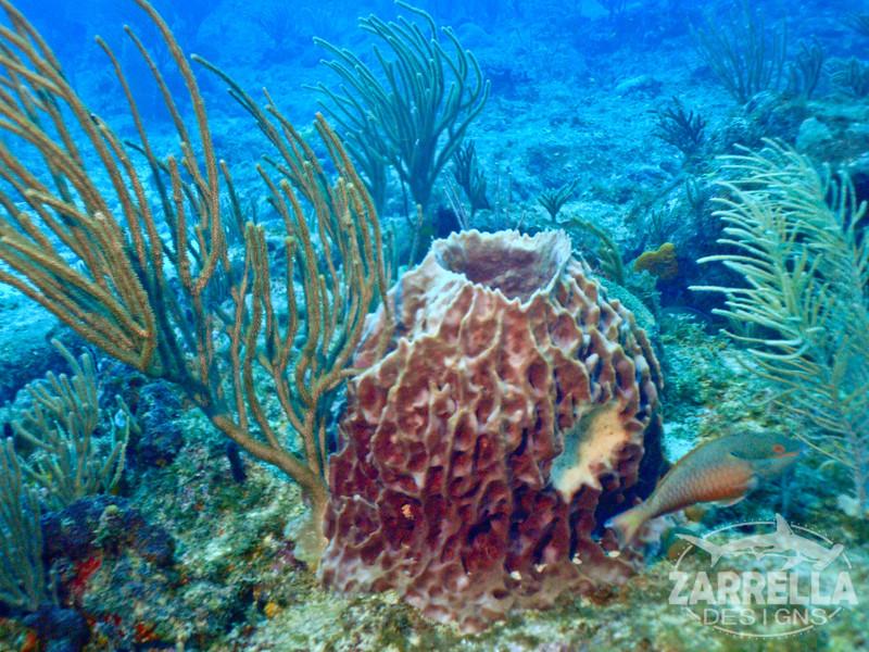 """""""Vase Sponge"""" (Fishbowl Reef, St. Maarten)"""
