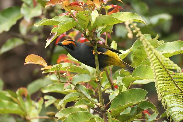 214 Sturnidae - Starlings