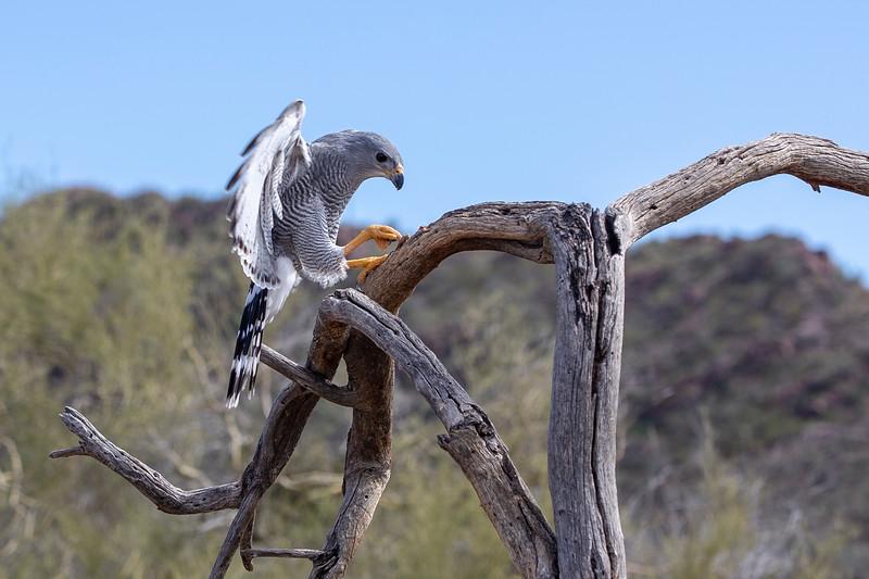 Gray Hawk on branch.jpg