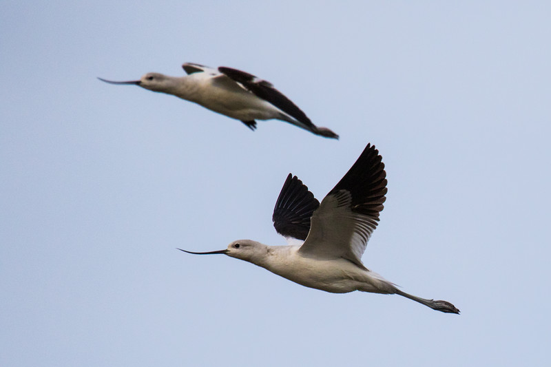 American Avocets Bombay Hook Fall 2019-3.jpg
