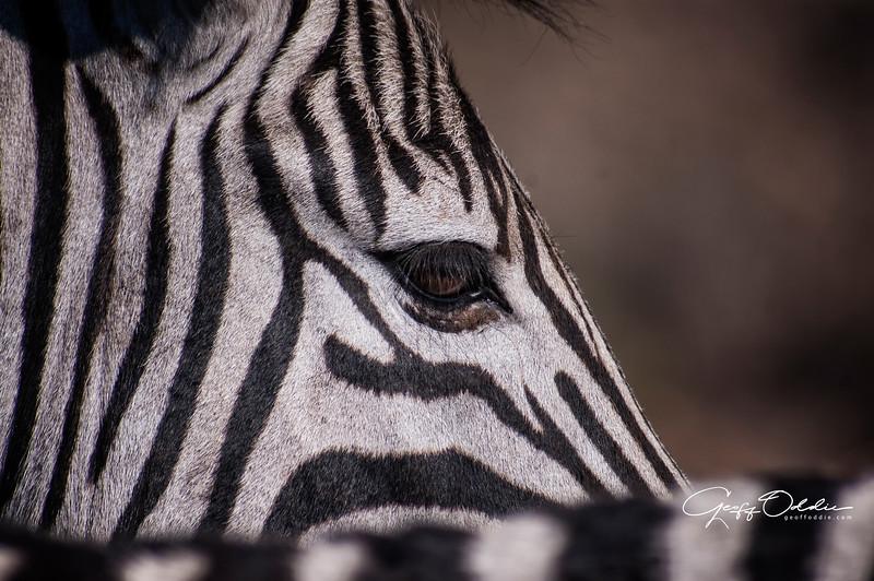 zebra_eye.jpg