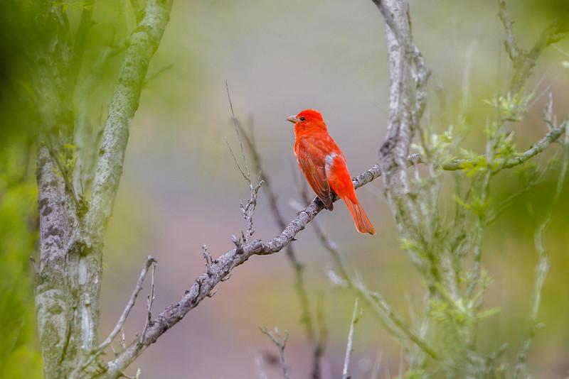 Summer Tanager, Big Bend National Park