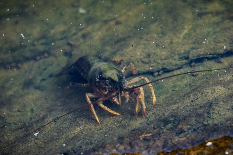 holtwood - river lobster (p).jpg