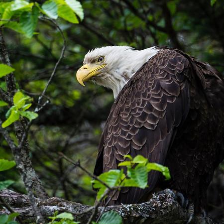 Vie sauvage (Alaska et Ouest Canadien)