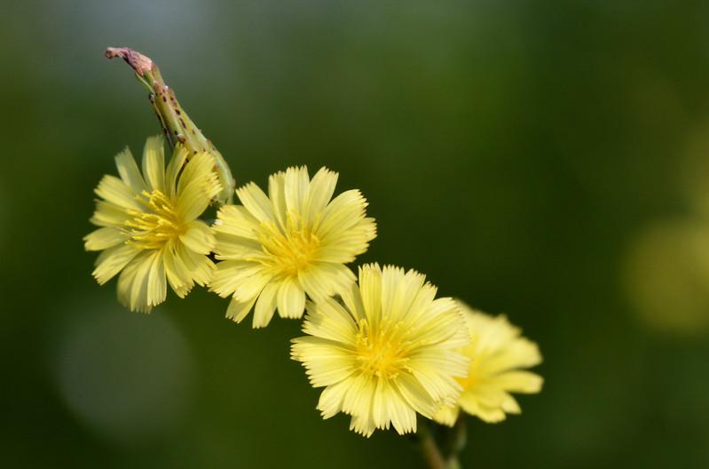 yellow-daisies-darkbackground.jpg