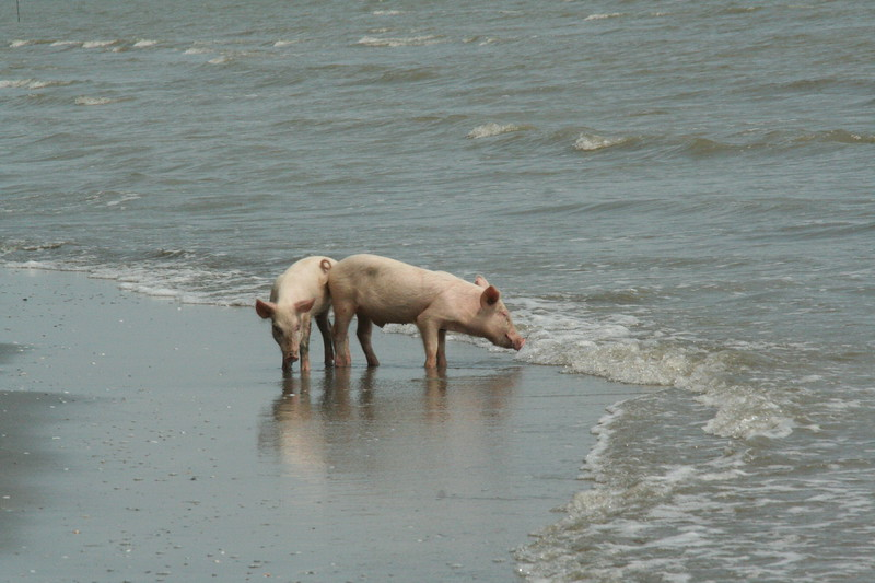 Even pigs hang out at the Lívingston beach