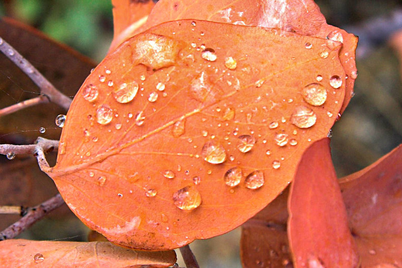 Close up of water droplets on a gum leaf.