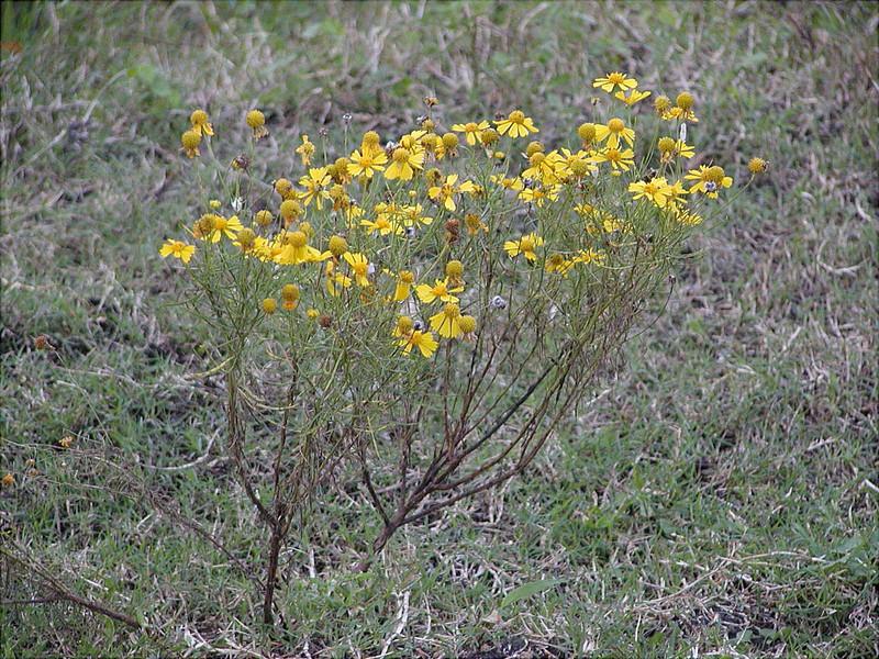 Hellenium amarum - Bitterweed