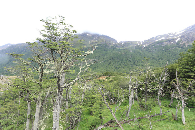 from RA3 view of  trees with a some fluffy growth on them, Tierra del Fuego, Patagonia.  Have not yet found out the name for it.