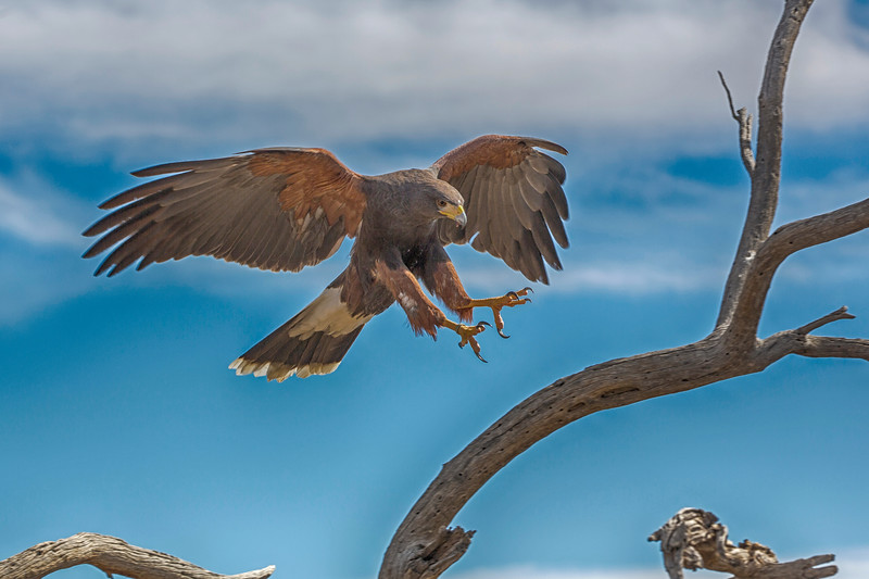 Coming In Harris Hawk.jpg