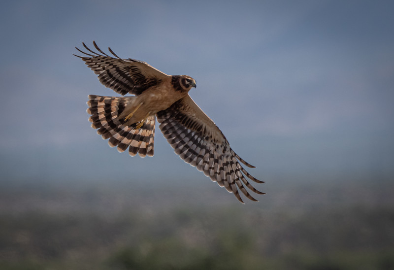 Northern Harrier (female)