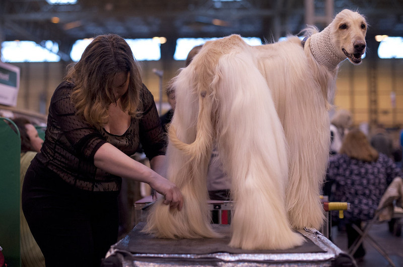 ". An Afghan Hound is groomed during the first day of the Crufts dog show in Birmingham, in central England on March 7, 2013. The annual event sees dog breeders from around the world compete in a number of competitions with one dog going on to win the ""Best in Show\"" category. AFP PHOTO / BEN STANSALLBEN STANSALL/AFP/Getty Images"