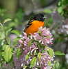 baltimore oriole apple tree wejb _DSC6525