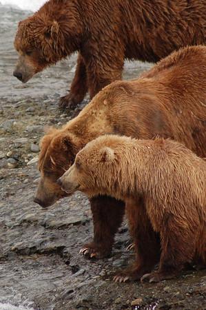 McNeil River Bears 3
