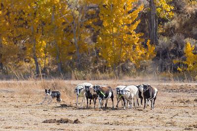 Ranch Dog Trial Photos