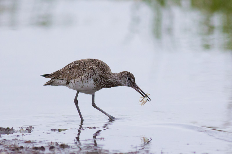 White-rumped Sandpiper - Snatches a crab from the water