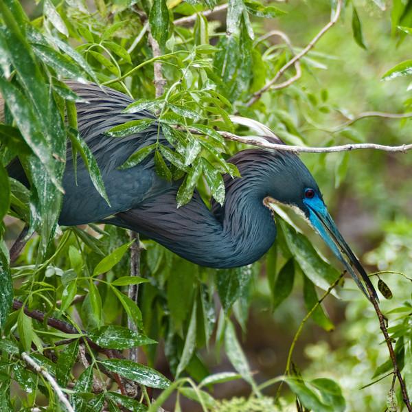 Louisiana heron builds a nest