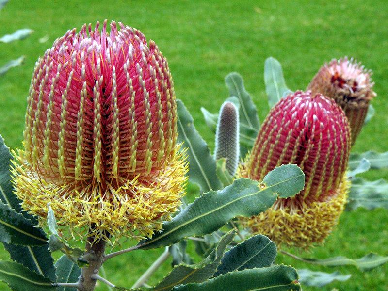 20060426_2079 Menzies banksia (Banksia menziesii). Emblem of King's Park and Botanical Gardens in Perth.