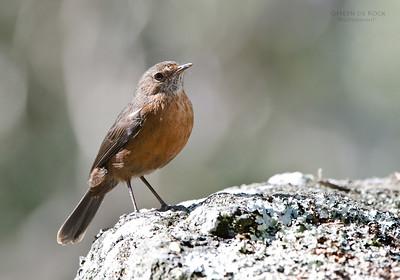 Rockwarbler (Origma solitaria)