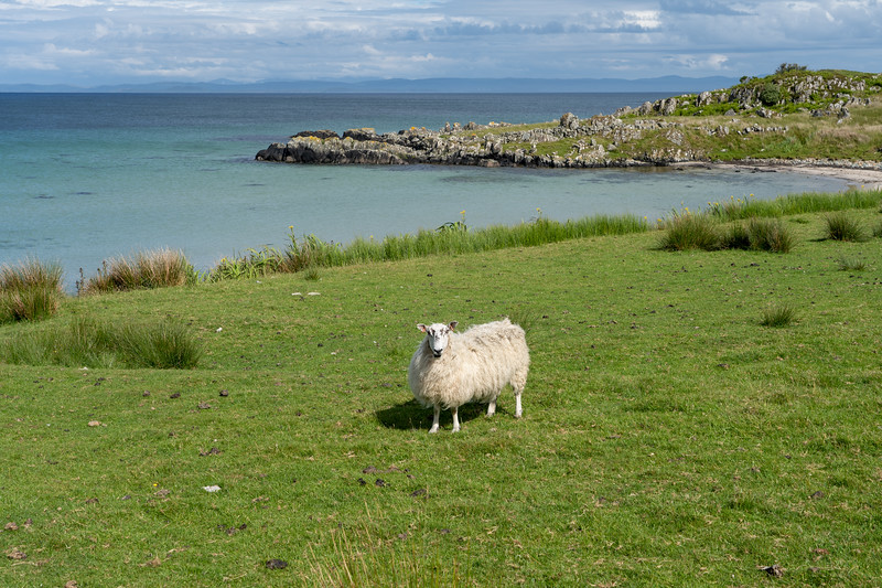 Sheep at Claggain Bay on Islay