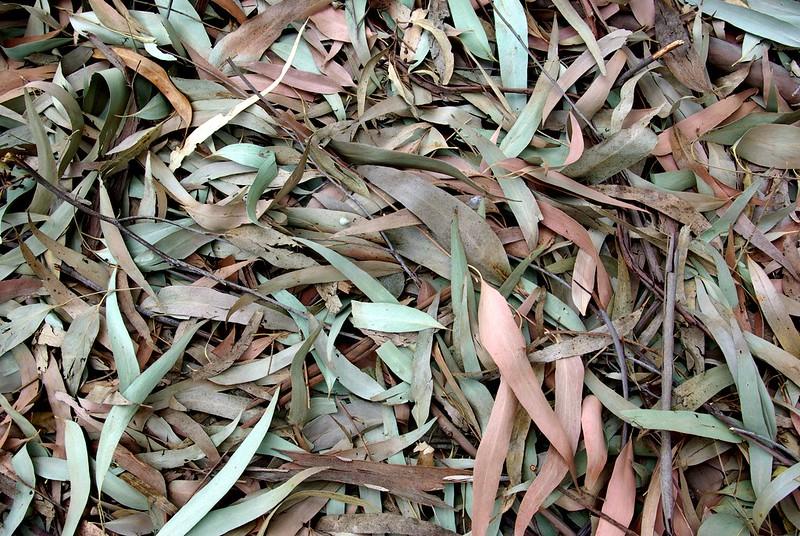 eucalyptus-grove-ucsc-arboretum_3995936179_o.jpg
