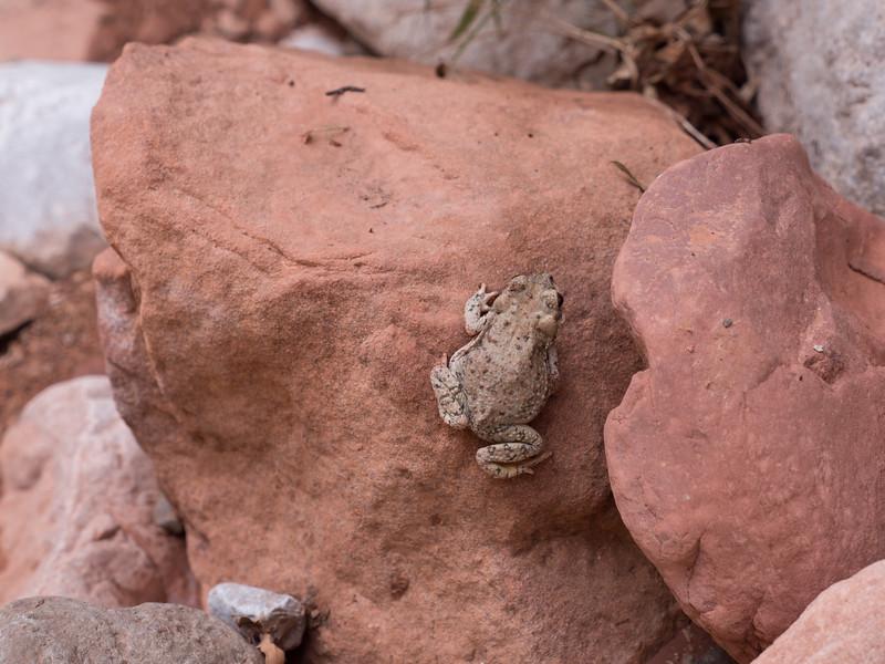 Sonara Desert Toad