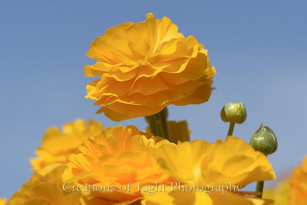 Flower Fields IV