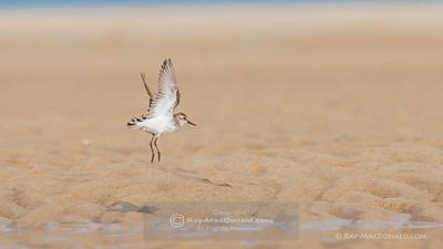 Least Terns, Sandy Point