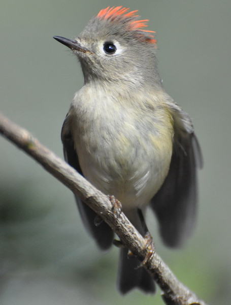 Nature RC Kinglet Actively Courting.jpg