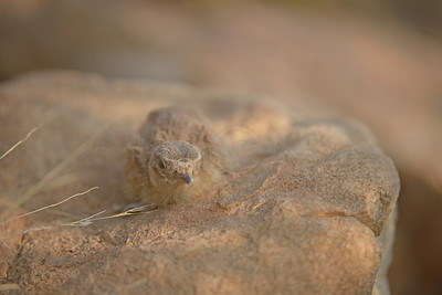 Painted Sandgrouse chick (Pterocles indicus) on a rock in Ranthambhore