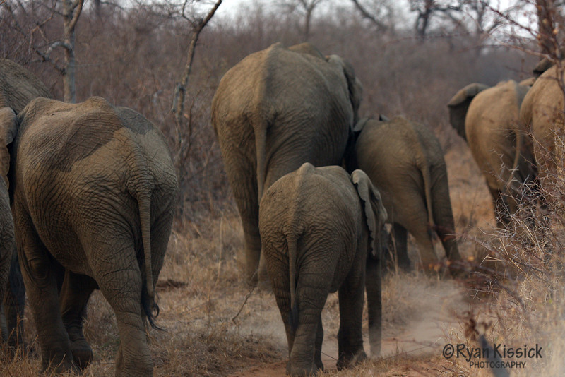Herd of African elephants from behind