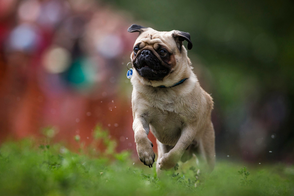 . Hugo competes in a pug race during a pug dog meeting in Berlin August 3, 2013. Thirty one dogs took part in the competition that was organized by a local pug dog association. REUTERS/Thomas Peter