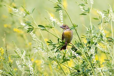 Song Birds - Small Birds
