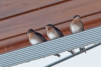 Hirundo neoxena - Welcome Swallow