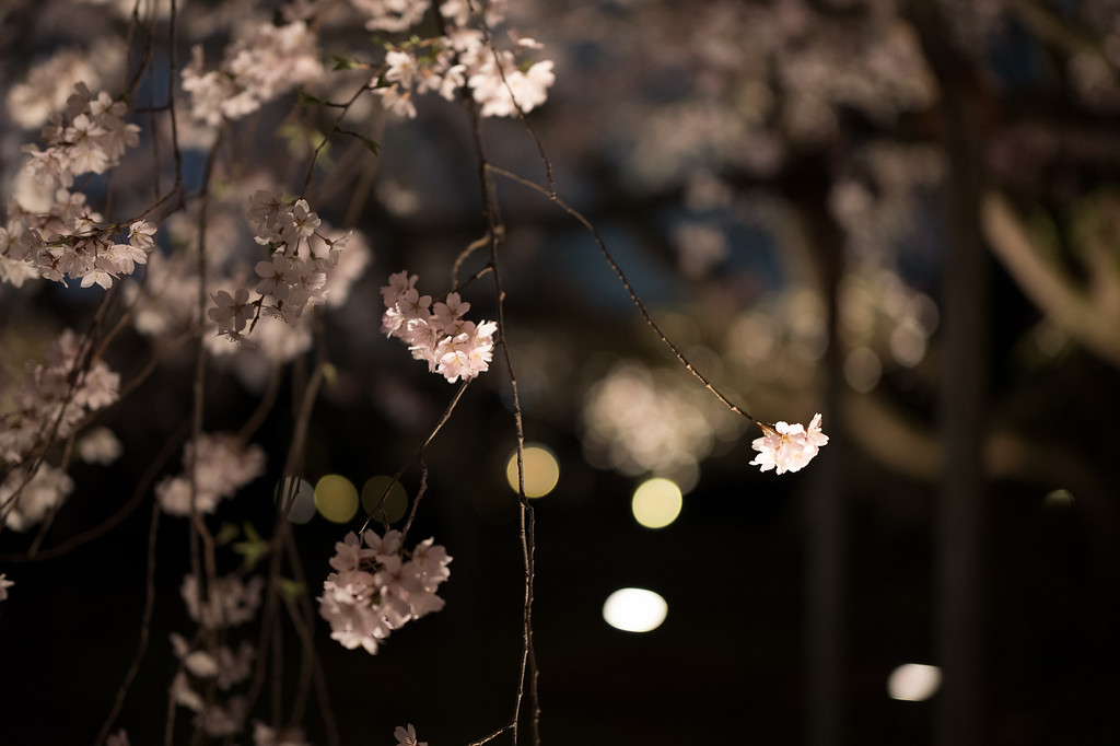 Illuminated sakura at Rikugien