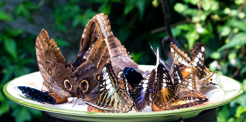 A tray of butterflies, mostly Blue Morphs showing the brown undersides of their wings
