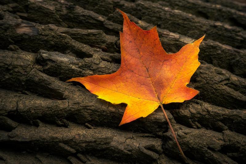 Maple Leaf - $5