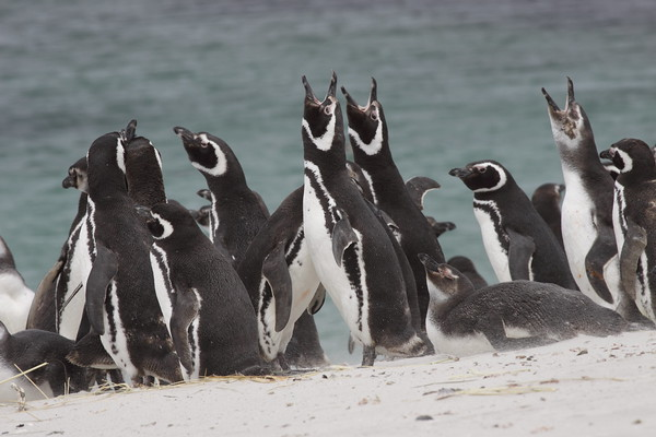 Magellenic Penguins Falklands