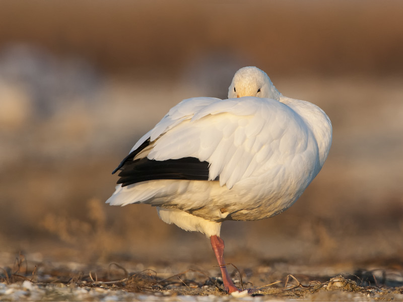 Snow Goose - Tucked In