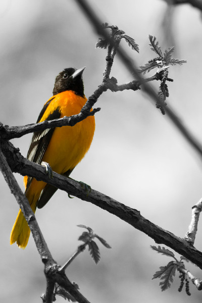 Oriole - Baltimore Oriole in Black & White