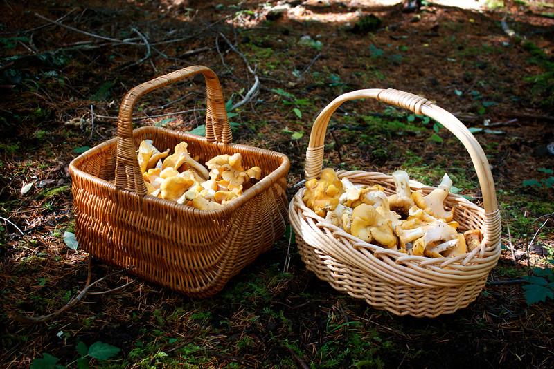 Baskets of Cantharellus formosus, Golden Chanterelles