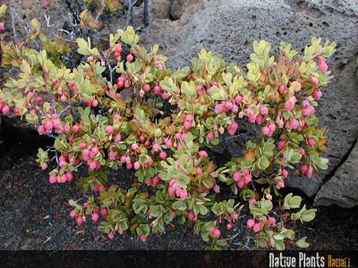 Native Plants Hawaii-2