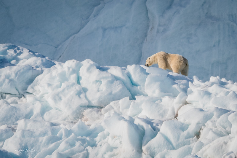 polar bear walking on iceberg 3.jpg