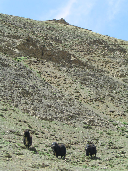 Yaks on a hill.