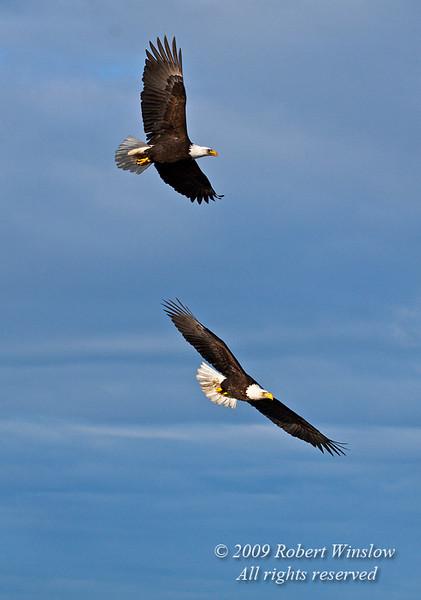 Two Bald Eagles, Haliaeetus leucocephalus, Flying, Kenai Peninsula, Alaska