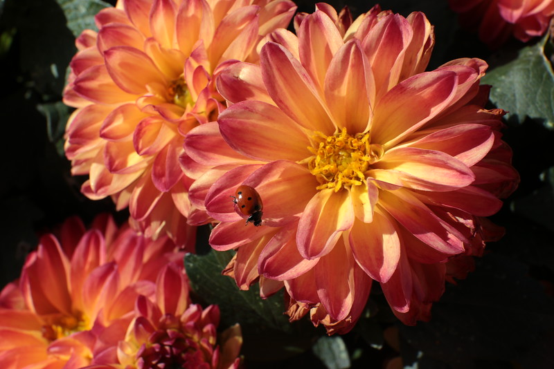 Red Ladybug and Red and Orange Dahlias
